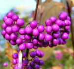 Japanische Callicarpa Schoenfrucht Frucht pink Callicarpa japonica 01