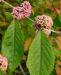 Zurück zum kompletten Bilderset Japanische Callicarpa Schönfrucht Frucht pink Callicarpa japonica