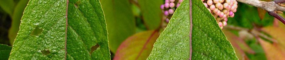 Anklicken um das ganze Bild zu sehen Japanische Callicarpa Schönfrucht Frucht pink Callicarpa japonica