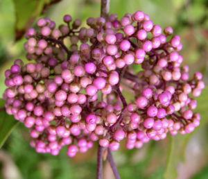 Japanische Callicarpa Schoenfrucht Frucht pink Callicarpa japonica 04
