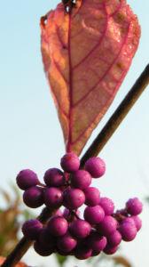 Japanische Callicarpa Schoenfrucht Frucht pink Callicarpa japonica 05