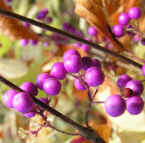 Japanische Callicarpa Schoenfrucht Frucht pink Callicarpa japonica 06