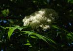 Japanische Eberesche Bluete weiss Sorbus commixta 01