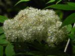 Japanische Eberesche Bluete weiss Sorbus commixta 02