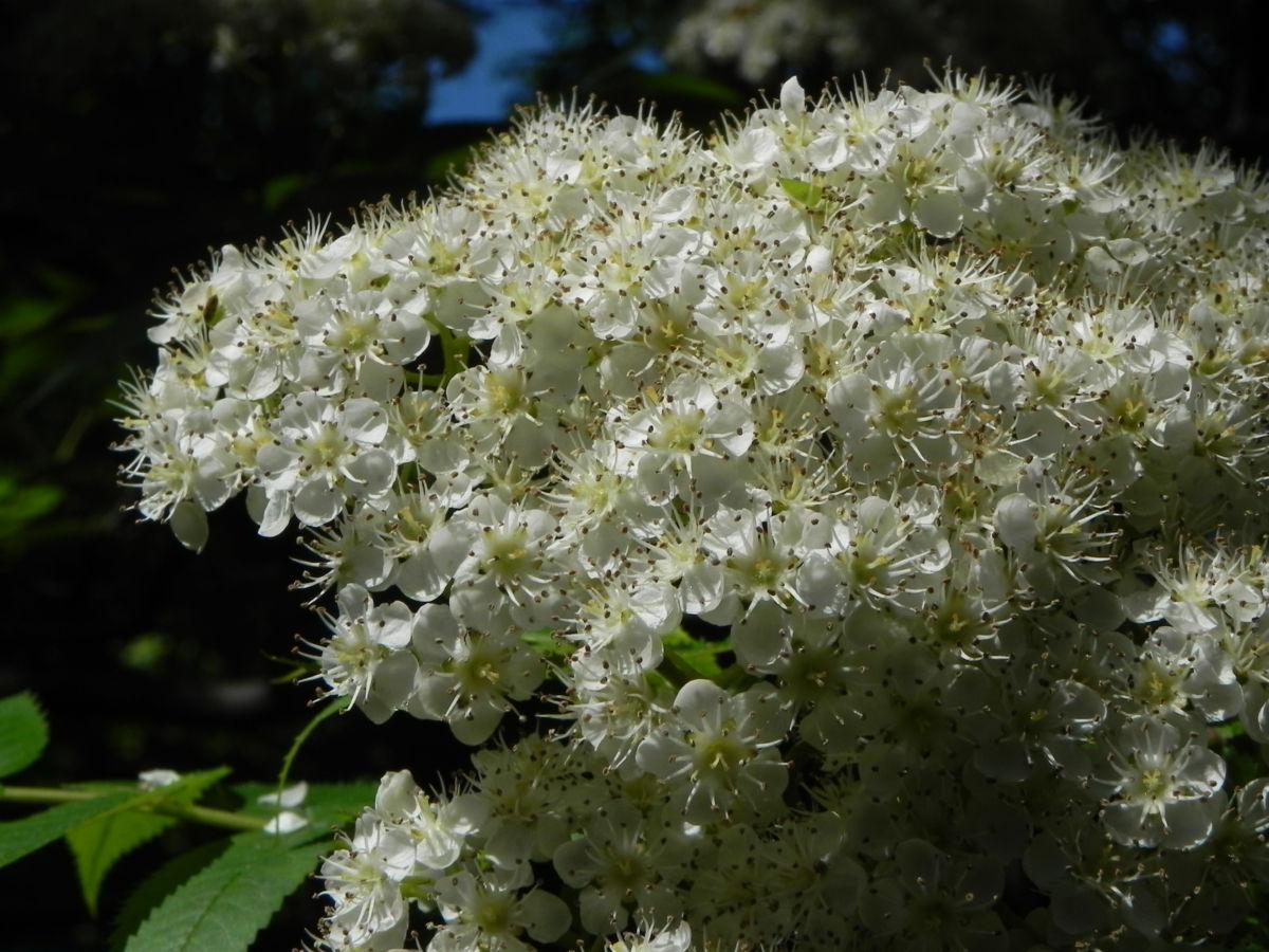 Japanische Eberesche Bluete weiss Sorbus commixta