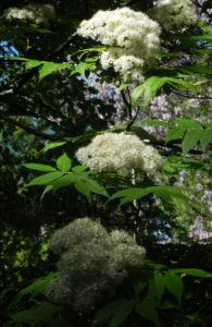Japanische Eberesche Bluete weiss Sorbus commixta 07