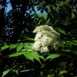 Bild: Japanische-Eberesche Blüte weiß Sorbus commixta