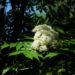 Zurück zum kompletten Bilderset Japanische-Eberesche Blüte weiß Sorbus commixta