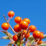 Japanische Eberesche Frucht orange Sorbus commixta 01