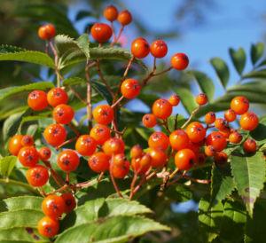Japanische Eberesche Frucht orange Sorbus commixta 02