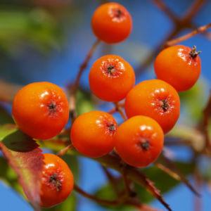 Japanische Eberesche Frucht orange Sorbus commixta 03