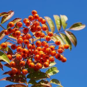 Japanische Eberesche Frucht orange Sorbus commixta 04