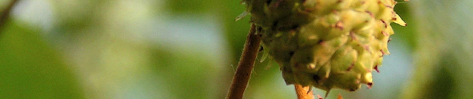 japanische-erle-alnus-pendula