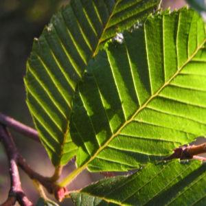 Bild: Japanische Erle Fruchtstand graubraun Alnus pendula
