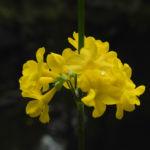 Japanische Etagen Primel Bluete gelb Primula japonica 04