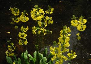 Japanische Etagen Primel Bluete gelb Primula japonica 17