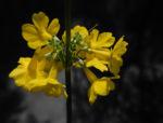Bild: Japanische Etagen-Primel Blüte gelb Primula japonica
