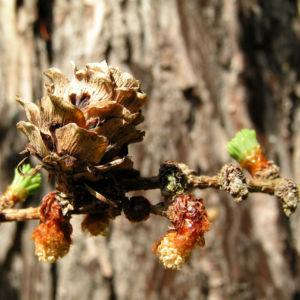 Japanische Laerche Baum Knospen gruen braun Larix kaempferi 01