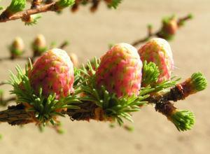 Japanische Laerche Baum Knospen gruen braun Larix kaempferi 04