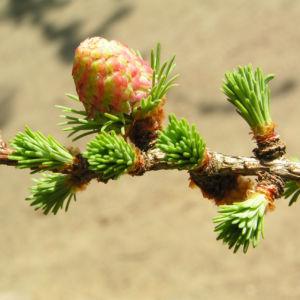 Japanische Laerche Baum Knospen gruen braun Larix kaempferi 06