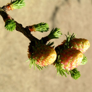 Japanische Laerche Baum Knospen gruen braun Larix kaempferi 09