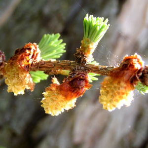 Japanische Laerche Baum Knospen gruen braun Larix kaempferi 10