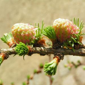 Japanische Laerche Baum Knospen gruen braun Larix kaempferi 11