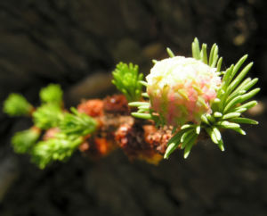 Japanische Laerche Baum Knospen gruen braun Larix kaempferi 14