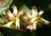 Zurück zum kompletten Bilderset Japanische Pachysandra Blüte weiß Pachysandra terminalis