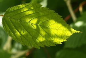 Japanische Prachtspiere Blatt gruen Astilbe japonica 06