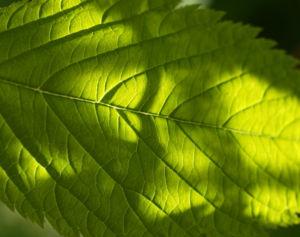 Japanische Prachtspiere Blatt gruen Astilbe japonica 07