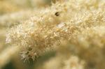 Bild: Japanische Prachtspiere Blüte weiß Astilbe japonica