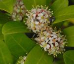 Bild:  Japanische Skimmie Blüte weiß Skimmia japonica