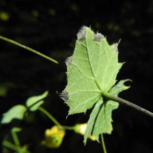 Japanische Wachsglocke Blatt gruen Kirengeshoma palmata 03