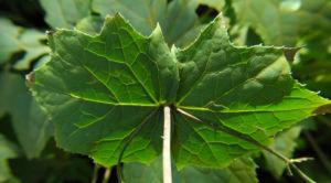 Japanische Wachsglocke Blatt gruen Kirengeshoma palmata 05
