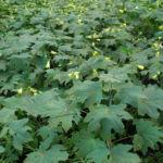 Japanische Wachsglocke Blatt gruen Kirengeshoma palmata 06