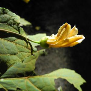 Japanische Wachsglocke Bluete gelb Kirengeshoma palmata 01