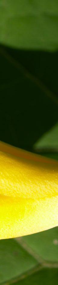 japanische-wachsglocke-bluete-gelb-kirengeshoma-palmata