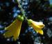 Zurück zum kompletten Bilderset Japanische Wachsglocke Blüte gelb Kirengeshoma palmata