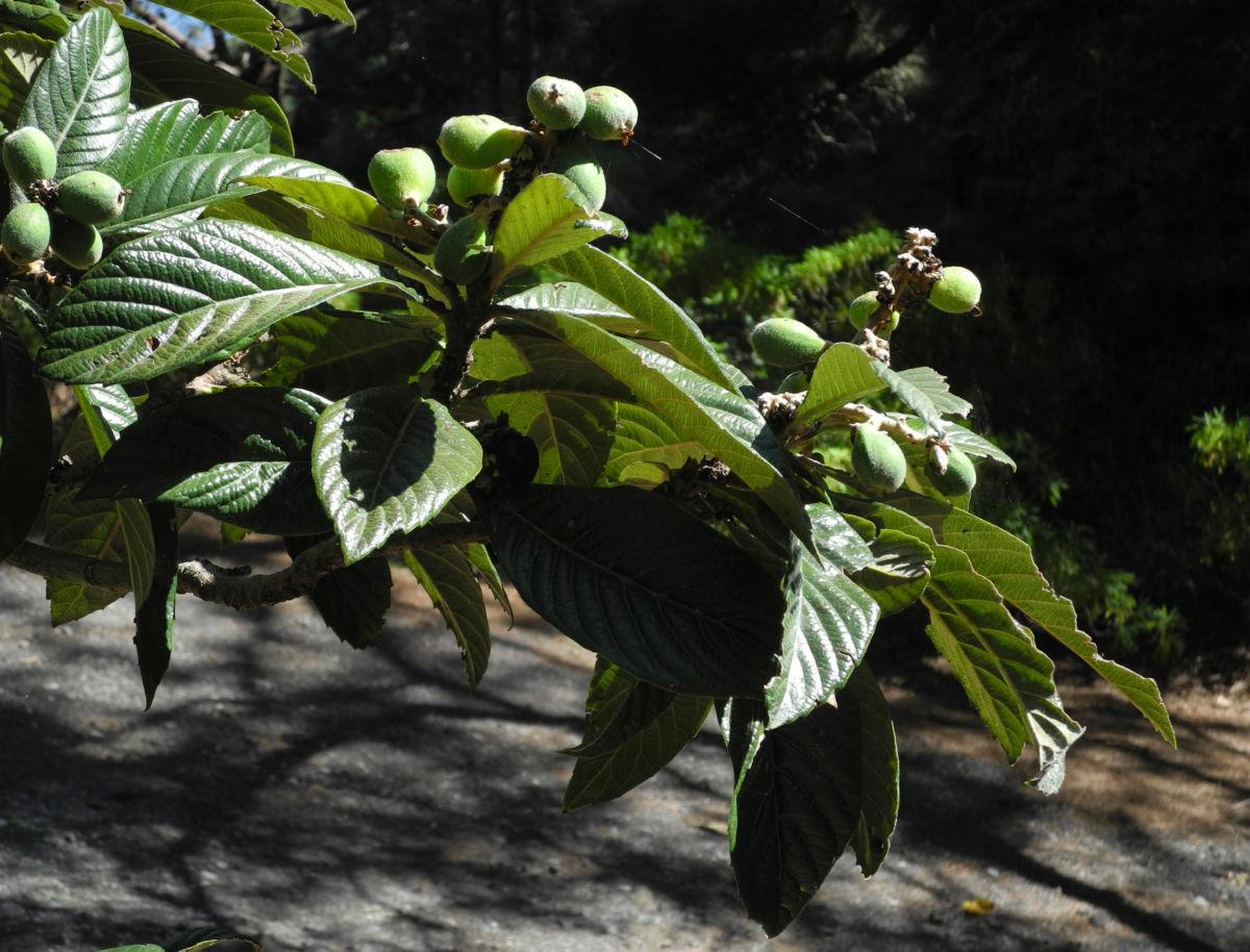 Japanische Wollmispel Blatt gruen Eriobotrya japonica