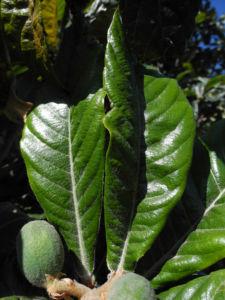 Japanische Wollmispel Blatt gruen Eriobotrya japonica 07