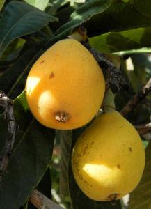 Japanische Wollmispel Frucht gelb Blatt gruen Eriobotrya japonica 03