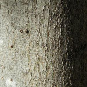 Japanische Wollmispel Frucht gelb Blatt gruen Eriobotrya japonica 06