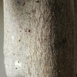 Japanische Wollmispel Frucht gelb Blatt gruen Eriobotrya japonica 07