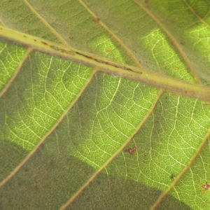 Japanische Wollmispel Frucht gelb Blatt gruen Eriobotrya japonica 09