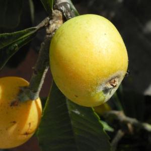 Japanische Wollmispel Frucht gelb Blatt gruen Eriobotrya japonica 12