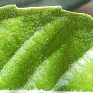 Japanische Wollmispel Frucht gelb Blatt gruen Eriobotrya japonica 13
