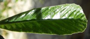 Japanische Wollmispel Frucht gelb Blatt gruen Eriobotrya japonica 18