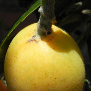Japanische Wollmispel Frucht gelb Blatt gruen Eriobotrya japonica 20