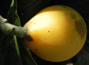 Japanische Wollmispel Frucht gelb Blatt gruen Eriobotrya japonica 21